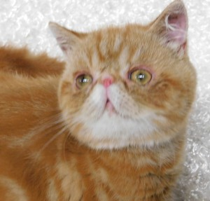 Celebrities Cattery: Available Kittens and Cats
